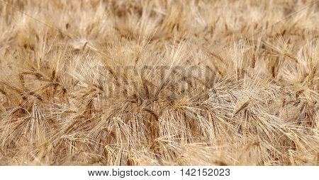 Background Of Ripe Wheat Ears In The Field In Summer