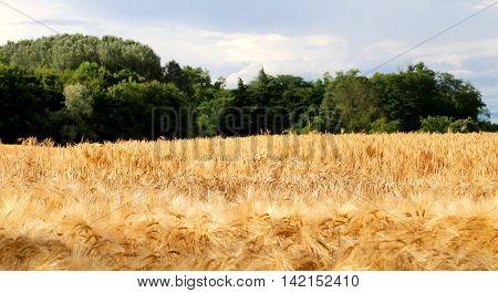 Yellow Wheat Ears In The Field In Summer