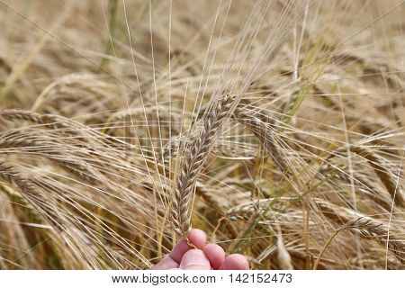 hand of the farmer holds mature yellow ear of wheat
