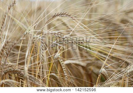 Ripe Wheat Ears In The Field In Summer
