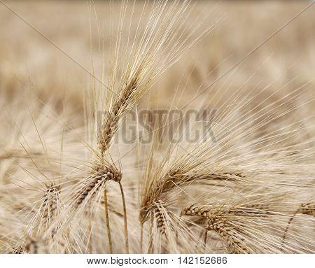 Wheat Ears In The Field In Summer