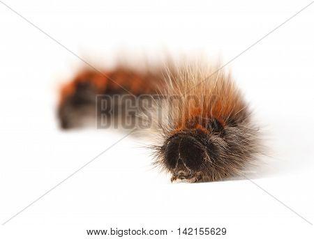 Shaggy Caterpillar En Face