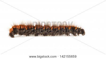 Furry Vermin Caterpillar