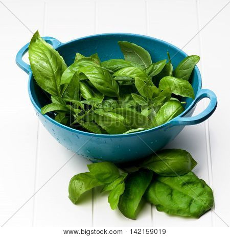 Blue Colander Full of Fresh Green Lush Foliage Basil Leafs closeup on White Plank background