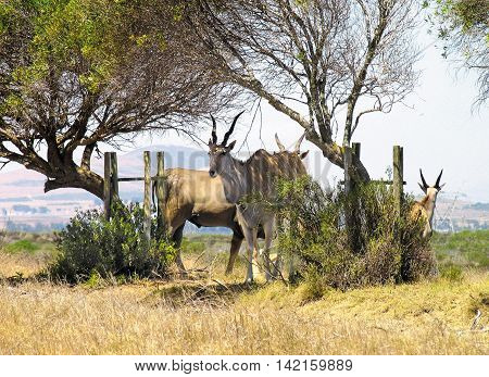 Eland Antelope, Koeberg Nature Reserve, Cape Town South Africa
