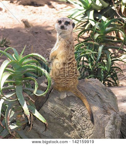 The Muurkat Or Suricate, Belong To The Mongoose Family, Found In Southern Africa 01