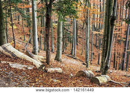 Autumn deciduous colorful forest. Natural seasonal scenery. Forestry theme. Vibrant colors.