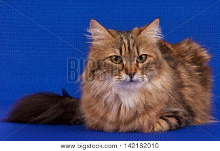 Beautiful adult siberian cat over blue background