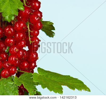Fresh ripe red currant on a branch over light-blue background