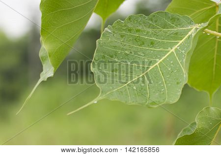 Bodhi Tree green Leaf drop of water close-up