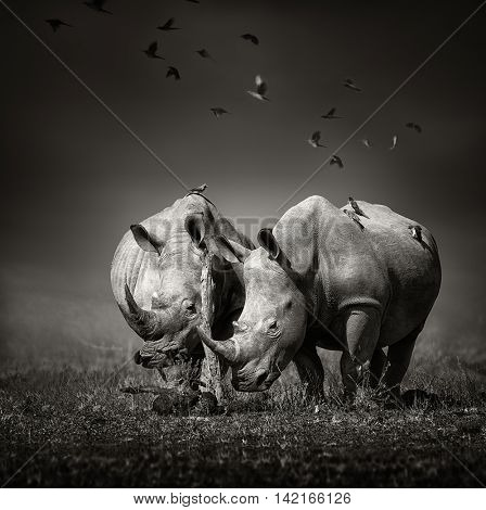 Two white Rhinoceros in the field with birds flying