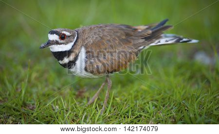 Killdeer staying very close to a few eggs in the background