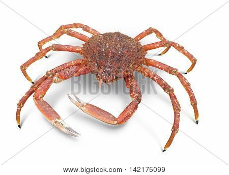 a european spider crab in white back with shadow