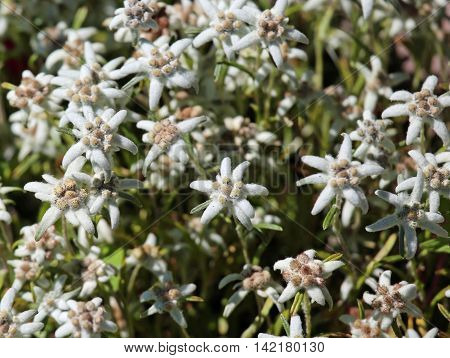 Edelweiss Flowers On The Meadow In The Alps