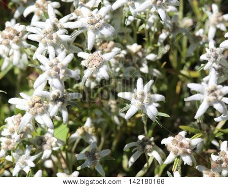 Many Edelweiss Flowers In The Alps