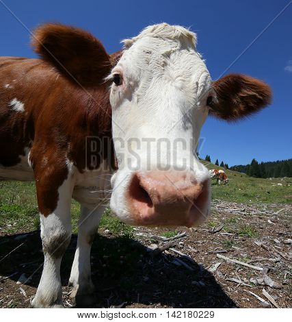 Fisheye Lens Muzzle Of The Big Brown Cow