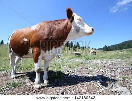 Brown Cow To High Mountain Pasture