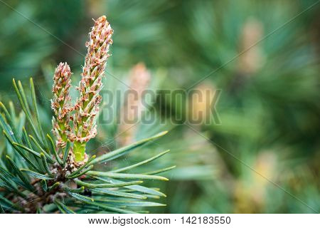 Evergreen pine tree branch with young shoots and fresh green buds, needles.