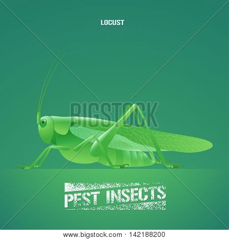 Realistic vector illustration of green insect Acrididae locust grasshopper. Migratory pest insect of agriculture farmland meadows. Design element for insecticide poster brochure article