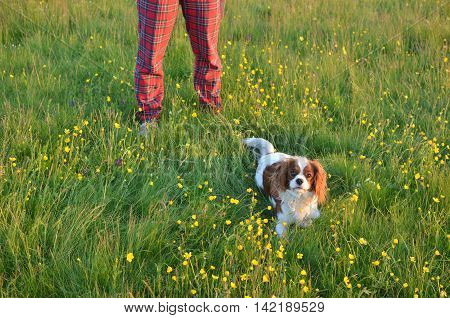 Cavalier King Charles Spaniel Blenheim dog in a field with colorful wildflowers with her lady's legs in red tartan trousers behind