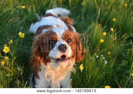 Close-up of Cavalier King Charles Spaniel Blenheim dog in a field with colorful wildflowers