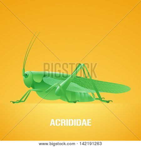 Realistic vector illustration of green insect Acrididae locust grasshopper. Migratory pest insect of agriculture farmland meadows. Design element with Latin sign for insecticide poster brochure