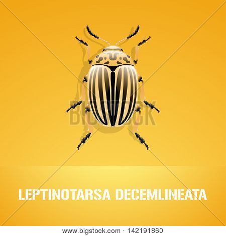 Realistic vector illustration of insect Leptinotarsa decemlineata colorado beetle. Pest insect of potato farmland. Design element with Latin sign for insecticide poster brochure article