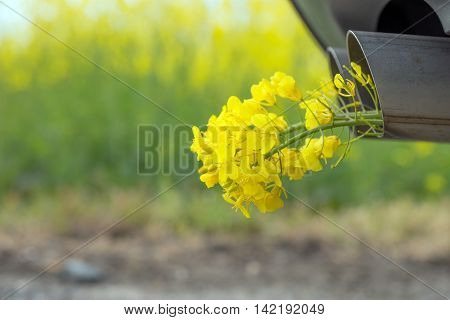 Car pipe exhaust, with yellow rape. Conceptual photo of biofuel