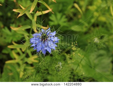 Blue summer flower. Nigella damascena. Garden flower.