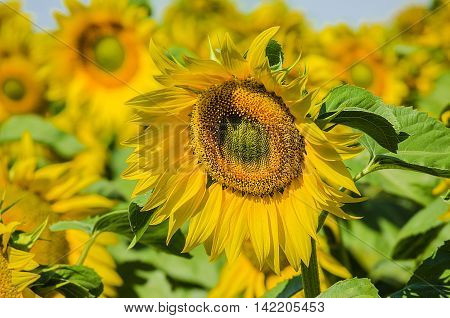 sown with flowering sunflowers field in summer