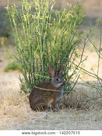Cottontail Rabbit - Sylvilagus. San Jose Brush Rabbit (Sylvilagus mansuetus) eating sweet fennel.
