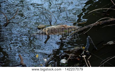 Dead fish floated in the dark water, water pollution