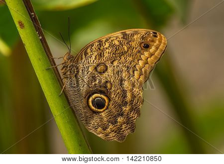 An owl butterfly is a butterfly, in the genus Caligo, known for their huge eyespots, which resemble owls' eyes. They are found in the rainforests and secondary forests of Mexico, Central, and South America.