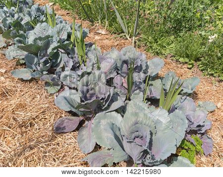 Mature vegetable garden with leafy greens and cabbages