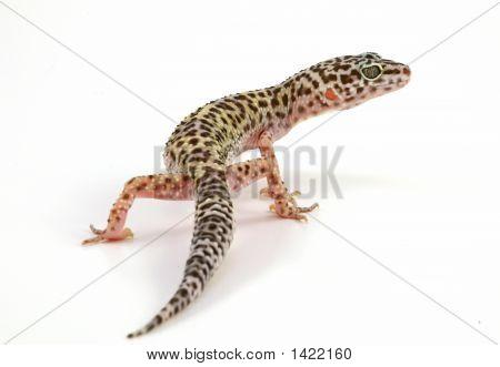 Leopard Gecko Lizard