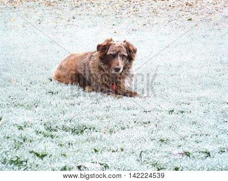 A brown and white Australian Shepherd dog laying in fresh snow