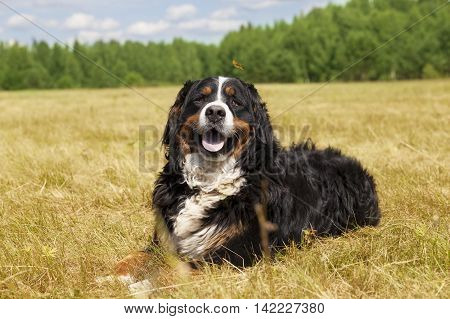 Purebred Bernese Mountain Dog (Berner Sennenhund) on the green field on a sunny summer day