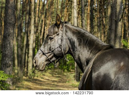 brown horse in a halter of rope standing on the sand on background of pine forest