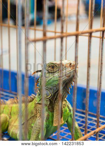 Gila Giant Iguana  In A Cage Anomal Market.