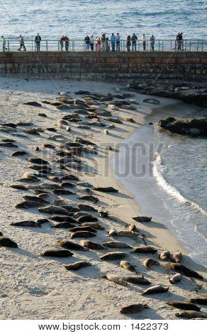 La Jolla Harbor Seals