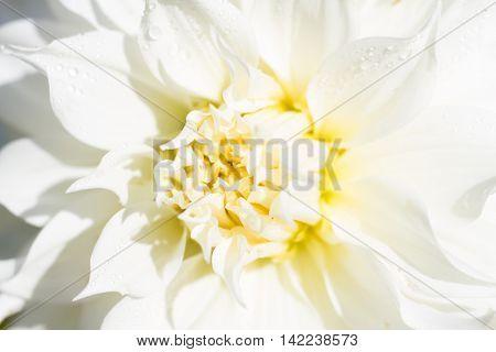 Macro of a white dahlia - cultivar AC twist