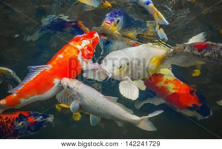 Colorful Japanese carp swimming in the pond of a pack close up.