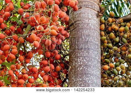 Bunch of green and red ripe tropical Betel Nut or Areca palm Catechu on tree. Betel leaves are used in folk medicine of Asian countries as an aphrodisiac analgesic and antiseptic.