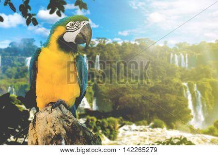 Blue and Yellow Macaw in Iguazu Falls