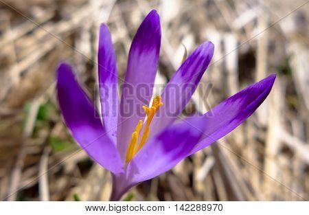 Detail of violet crocus on spring meadow