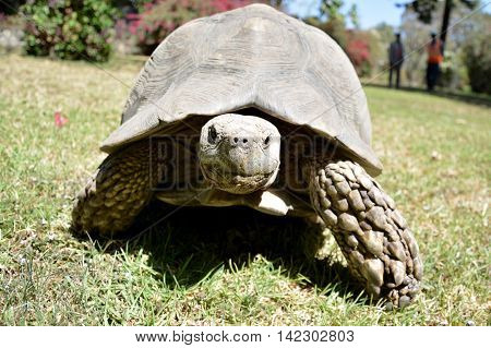 Gigantic turtle on a grass in Ethiopia