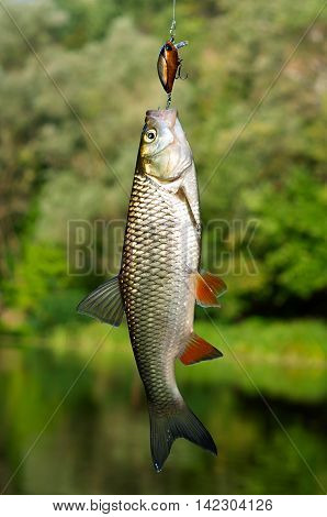 chub caught on a background of the river