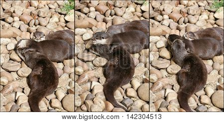 Collage Of Oriental Small-clawed Otter Family Sleeping On The Rock