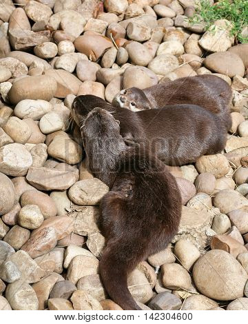 Oriental Small-clawed Otter Family Sleeping On The Rock