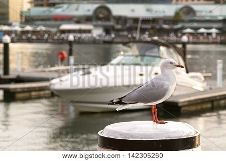Silver Gull seabird standing on white wooden pole during sunset with blurred yacht and Sydney Harbour background in New South Wales, Australia